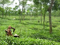 Srimongal Tea Plantations (Nubsy) Tags: tea bangladesh plantations srimongal