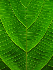 (*omnia*) Tags: india macro green topf25 topv111 backlight leaf kalimpong top20green