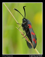 6 Spot Burnet Moth (in portrait).jpg (Tony Margiocchi (Snapperz)) Tags: wild england nature beauty wildlife moth bedfordshire burnet colouful minibeast 6spot nikond200 thurleigh 6spotburnetmoth abigfave diamondclassphotographer flickrdiamond margiocchi