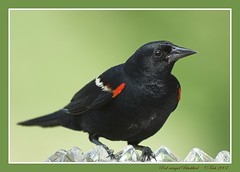 Red-winged Blackbird (Momba (Trish)) Tags: red green bird nature birds fauna interestingness nikon searchthebest tennessee explore nikkor soe blackbird momba redwingedblackbird agelaiusphoeniceus takeabow naturesfinest 80400mmf4556dvr parkstock nikond200 featheryfriday interestingness166 i500 flickrsbest specanimal animalkingdomelite qemdfinch aplusphoto avianexcellence blackribbonbeauty naturewatcher explore21july2007