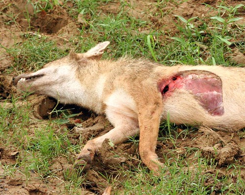 wild fox art