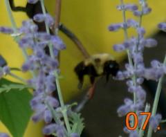 bee in flight (valkrye131) Tags: fauna bees urbanjungle