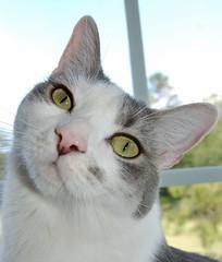 Gracie's Pose (StroudFoto) Tags: cats pets cat tabby northcarolina kitties felines catfaces 10millionphotos excellentcatsshots