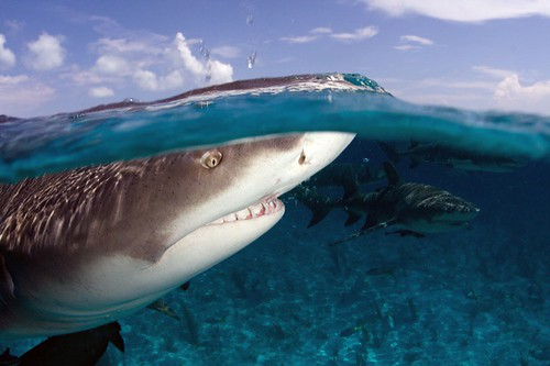 Lemon Shark Breaking the Surgace in the Bahamas