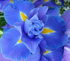 Blue Iris (EXPLORED) (Bluebird0927 (ON/OFF)) Tags: flowers blue iris fab vivid top20nature shiningstar naturesbest the aphoto peopleschoice naturesfinest blueribbonwinner supershot flickrsbest beautifulcapture mywinners abigfave colorphotoaward superbmasterpiece onenesslabyrinth diamondclassphotographer theboldflower ysplix boldflower naturewatcher henryfriends platinumphotography mykindofpicturegallery perfectphotographer everdayissunday saariysqualitypictures