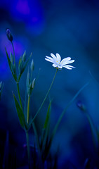 Holo - Flower 71 (Holowlegs) Tags: flowers blue plants plant flower nature stitchwort stellaria mouseear uknature youvsthebest jeannysfoto natureoutpost bachspicsgallery photoexplore exquisiteimage