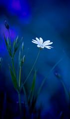 Holo - Flower 71 (Frank Darnell) Tags: flowers blue plants plant flower nature stitchwort stellaria mouseear uknature youvsthebest jeannysfoto natureoutpost bachspicsgallery photoexplore exquisiteimage