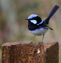 Male Fairy Wren (n3ttl3s) Tags: interestingness fairywren awesomeshot canoneos30d canonef70300mmf456isusm anawesomeshot avianexcellence auselite naturewatcher ozint