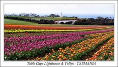 Table Cape - TASMANIA (Sim.B) Tags: flowers lighthouse colours tulips farm australia tasmania pointandshoot tassie srb tablecape supershot sp500uz mywinners tassiesim bestofaustralia appleisle