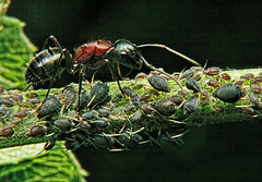 ant aphids (ViaMoi) Tags: canada macro ottawa ant aphids s2williams viamoi photographybyviamoi