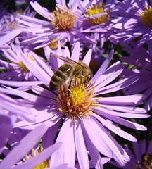 Bee (KKPetra) Tags: flowers lunch lila bee transylvania makro virg erdly superbmasterpiece
