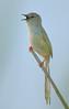 طنيفه (PhotoGrapherQ80 «KWS») Tags: birds kuwait adel abdeen