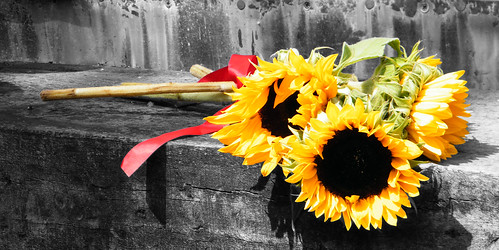 Sunflower Bunch BampW Ackground