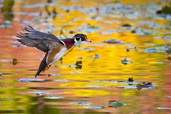 Incoming Wood Duck (Eric.Vogt) Tags: autumn fall birds oregon hillsboro avian canon400mmf56l canon50d dawsoncreekpark