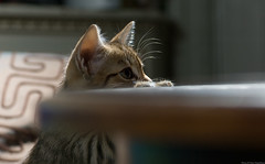 Climbing the Table (peter_hasselbom) Tags: cats cat table kitten flash kittens climbing spotted tabletop blackspotted 105mm lookingover 2flashes cx100