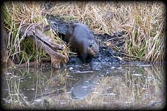 I can see myself (brentus69) Tags: park wood canada reflection nature water grass mammal rodent pond nikon beaver alberta stump castor d300 elkislandnationalpark nikond300 adobephotoshopcs5 whitesprucetrail