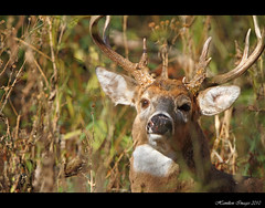 Big Dude Bedded Down (Hamilton Images) Tags: ohio canon mammal october deer toledo 7d buck 500mm 2010 whitetaileddeer odocoileusvirginianus 10point img1045 14xteleconverter