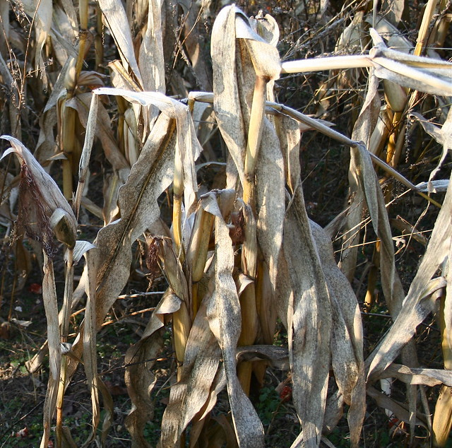 Corn Field at Harvest