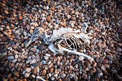 Memorial (Christian DF) Tags: color colour bird dead skeleton death memorial pebbles muerte esqueleto sp ave gaviota piedras pjaro muero cdf explosionsinthesky gravilla suenyospolares sueospolares christiandf christiandfes christiandomnguez