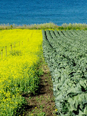Crops (mythlady/Elise Wormuth) Tags: ocean california blue green beauty field yellow project mustard crops californiacoast onlythebestare