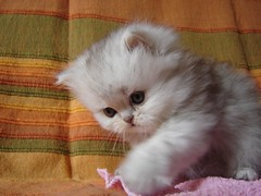 Moushi (catherine.caf) Tags: cat persian kitten chat gatto chaton persan cc400 cc300 cc200 cc100 cc500 cc600 kittenmagazine bestofcats lifebeautiful kittyschoice diamondclassphotographer pet100 5prettykittycommentsparti