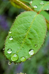 Tropfen auf Rosenblatt (alopecosa) Tags: rose freiburg blatt wassertropfen