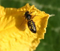 abeille-fleur