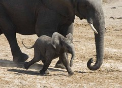 Mud!! (kinetic lensman) Tags: baby elephant happy mud d70 little pachyderm large running run dash trunk hurry excitement charge charging pleased