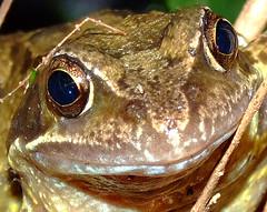 Compost heap frog (YorkStories) Tags: england yorkshire frog gardenwildlife ranatemporia