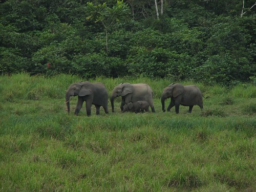 Elephants in Longue Bai, Gabon by Jefe Le Gran.