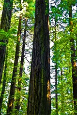 Redwood Trees (Keith Lovelady's Photography) Tags: redwoods excellentphotographerawards excellentphotographer myfavoriteforestphotoaward redwoodtrees redwoodtree redwoodnationalforest moss greenmoss tree trees lines up lookingup straightup straight greatlines big tall huge wow greatbig enormous awesome awesometrees fantasticshot fantasticphotograph wowa madalenaandherflag light thelightthelight thelight wowthelightthelight beautiful nice myfavoriteforestphoto beautifullight magnificenttrees magnificenttree terrificredwoodshot terrific wowaofashot magnificent height nicejob km minolta konica konicaminolta kmmaxxum7d maxxum 7d maxxum7d km7d kmm7d konicaminoltamaxxum7d spectacular leaf leaves greenleaf greenleaves green enormoustree enormoustrees photo photograph photographer forestphoto favoriteforestphoto