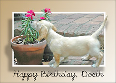 Honey suggests to never forget to take a moment to smell the flowers around you. (Doxieone) Tags: birthday pink flowers dog english photoshop puppy cream dachshund pot final pup mostpopular ggg oob outofframe topfavorite doeth duchide