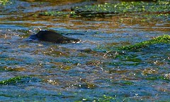 up a creek (unfocused mike) Tags: alaska swim silver river fight stream salmon battle shallow upstream struggle uphillbattle coho kodiakisland