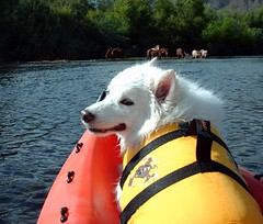 Niko and horses on the river (utski7) Tags: trip blue wild summer arizona horses dogs nature water river fun kayak outdoor salt sunny american kayaking saltriver eskimo eskie lifewest stalions