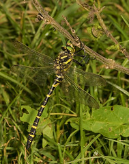 """Gold Ringed Dragonfly (Cordulegaster (1) • <a style=""""font-size:0.8em;"""" href=""""http://www.flickr.com/photos/57024565@N00/1411011377/"""" target=""""_blank"""">View on Flickr</a>"""