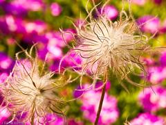 Fuzzy Flowers (Daniel Ashton) Tags: flowers summer usa geotagged fuzzy nationalarboretum interestingness80 i500 anemonepulsatilla vickispicks