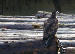 "FRS Juvenile Bald Eagle • <a style=""font-size:0.8em;"" href=""http://www.flickr.com/photos/51193137@N08/4721911283/"" target=""_blank"">View on Flickr</a>"