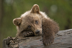 Rainy Day Grizzly Cub. (AlaskaFreezeFrame) Tags: bear cub grizzly rain alaska specanimal specanimalphotooftheday mothernaturesgreenearth specanimalphotoofthemonth claws cute wild animal spring tplringexcellence dblringexcellence canon mammal sad alaskafreezeframe carnivore allofnatureswildlifelevel1 allofnatureswildlifelevel2 allofnatureswildlifelevel3 allofnatureswildlifelevel4 allofnatureswildlifelevel5 baby raining omnivore outdoors nature wildlife portrait closeup babygrizzly adorable sweet wet 70200mm brownbearcub log forelorn resting telephoto digital handhold