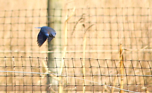 Bluebird Hunting