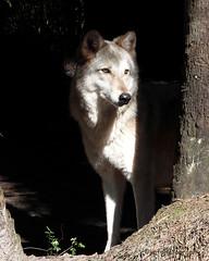 Shy Wolf (kafphotography) Tags: wolf bigmomma thechallengegame challengegamewinner challengegame challengefactorywinner thechallengefactory storybookchallengewinner