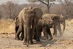 Group (sparkeypants) Tags: africa travel wild texture animal standing canon geotagged elephants namibia etosha platinumheartaward elepaht