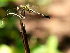 Helicopter - Dragonfly