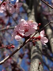 Sakura (sphynge) Tags: pink flower tree fleur cherry san francisco branch blossom diagonal bloom sakura eclore sphyngephotography portkalei100308