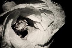 fresh picked (Tommy Ellis) Tags: white black flower detail macro up d50 nikon close flash fresh picked kauai
