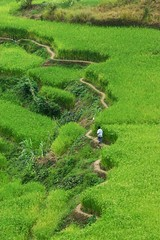 traversing the terraces (laz'andre) Tags: green rice path philippines terraces banaue ifugao cordillera northernphilippines allrightsreserved ifugaoprovince sagadabanaueadventure07 cordilleraregion