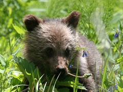 Wild Baby Grizzly 3 - by ru_24_real