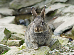 Rabbit on the rocks