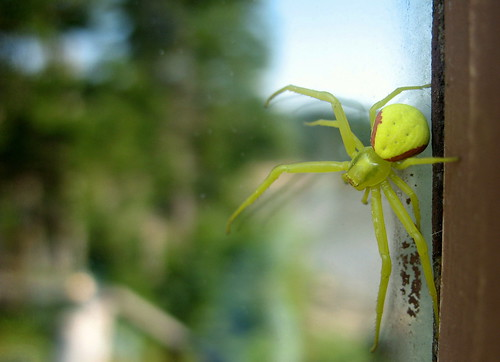 another yellow spider