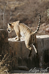 Tiger jumping on a wall (dickysingh) Tags: wild india nature outdoor wildlife tiger bigcat aditya predator ranthambore singh bengaltiger ranthambhore dicky outdoorphotography ranthambhorebagh adityasingh dickysingh ranthamborebagh theranthambhorebagh