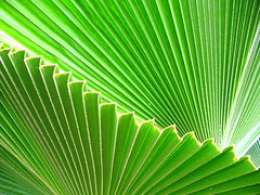 GREEN (*Cora) Tags: green leaves leaf anahaw naturesfinest amazingshot beautyisintheeyeofthebeholder flickrsbest 25faves abigfave colorphotoaward diamondclassphotographer flickrdiamond popsgallery
